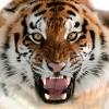 The Tiger--Maker - Indian Folklore