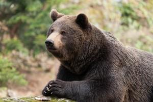 Braun Bear say grace Brown Bear folding paws, pray before eating fish